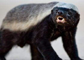 逆天的动物蜜獾